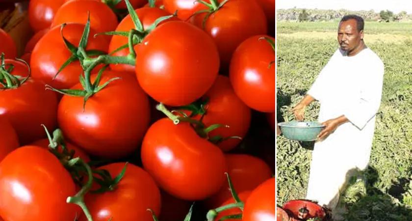 Eritrean Farmer Adopts New Technique to Control Tuta Absoluta