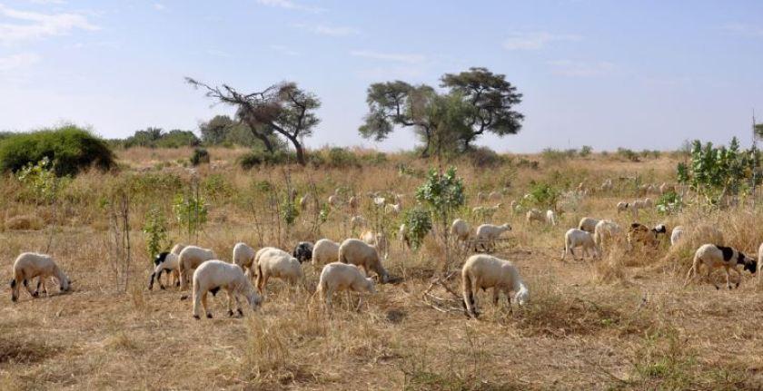 Sheep farming eritrea