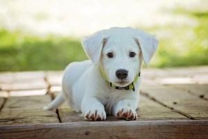 Cane-Puppy
