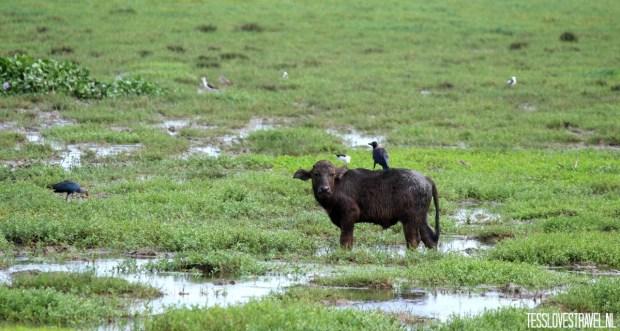 babybuffel