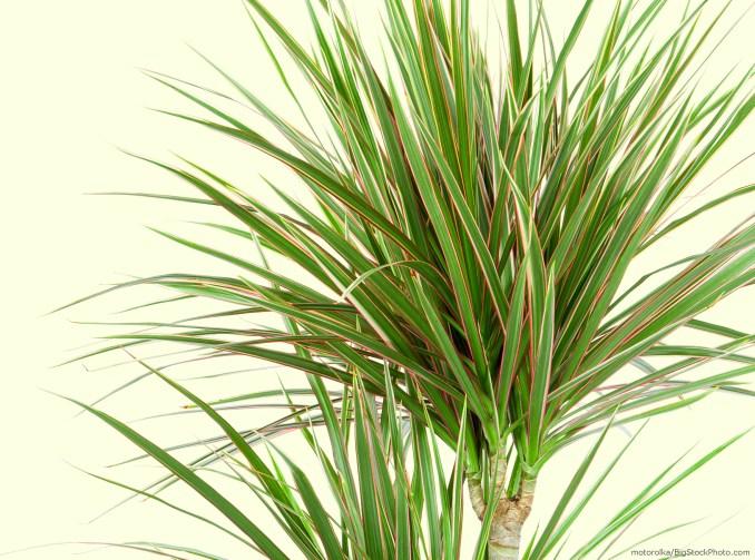 Zdjęcie pożyczone ze strony www.myhouseplants.com