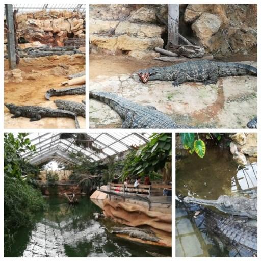 le nourrissage des crocodiles et le gavial du gange
