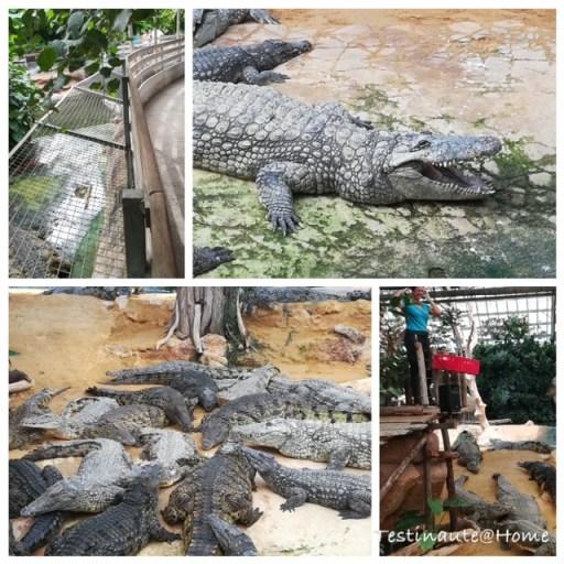 Nourrissage des crocodiles de la ferme