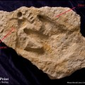 Human and dinosaur footprints