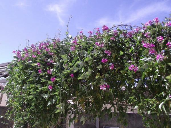 φυτά για πέργκολες15