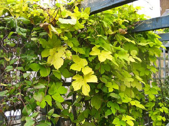 φυτά για πέργκολες19