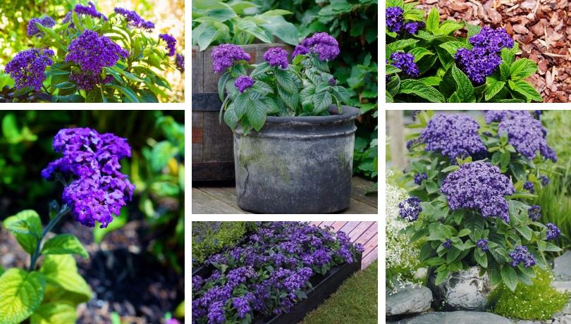 Καλλιέργεια ηλιοτρόπιου - ένα λουλούδι που θα σας κατακτήσει με το άρωμά του