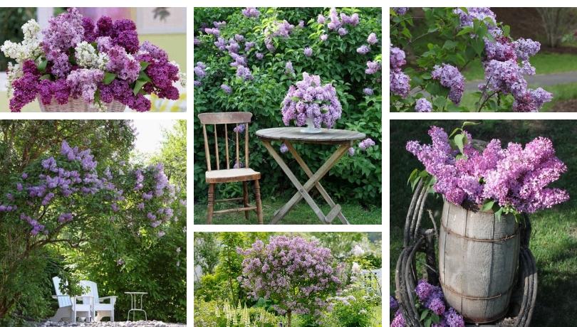Πασχαλιά ένα θεαματικό και εύκολο στη φροντίδα διακοσμητικό φυτό για τον κήπο σας