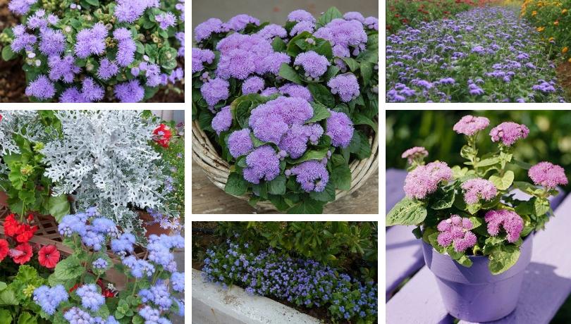 Αγήρατο, ένα πανέμορφο καλλωπιστικό με το αγέραστο λουλούδι για τη βεράντα και τον κήπο σας
