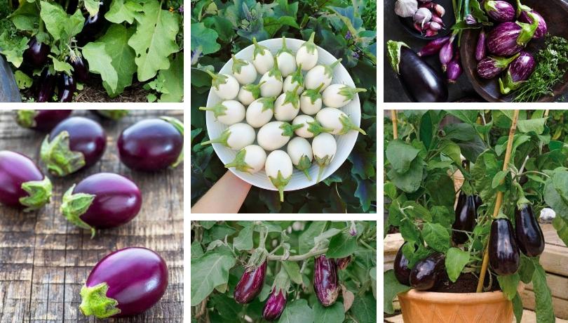 Καλλιέργεια Μελιτζάνας: H βασίλισσα της μεσογειακής κουζίνας στην γλάστρα ή τον κήπο σας