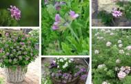Αρμπαρόριζα: ένα φυτό με αρωματικές & θεραπευτικές ιδιότητες στο μπαλκόνι και τον κήπο σας