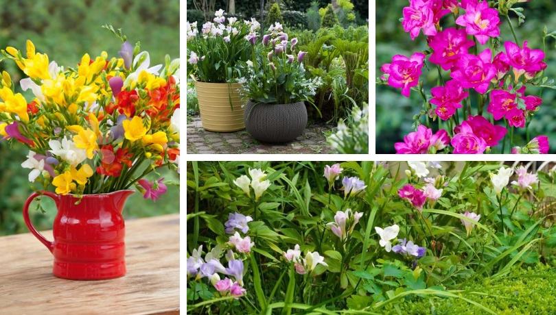 Φρέζια ένα υπέροχο αρωματικό λουλούδι για τον κήπο σας