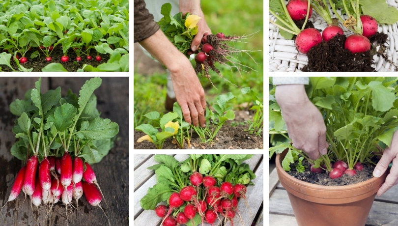 Πως να καλλιεργήσετε ραπανάκια …για την όρεξη... στην γλάστρα ή τον κήπο σας