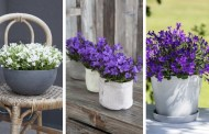 Καλοκαιρινή καμπανούλα - υπέροχες ιδέες για τις γλάστρες και τον κήπο σας