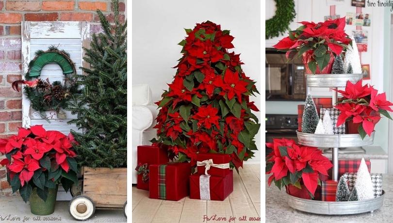 Αλεξανδρινό το αστέρι των Χριστουγέννων - Ένα μαγικό φυτό στην Χριστουγεννιάτικη διακόσμηση του σπιτιού σας