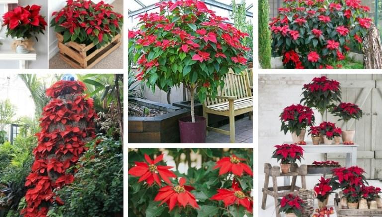 Αλεξανδρινό, το λουλούδι των Χριστουγέννων - συμβουλές περιποίησης στο σπίτι και τον κήπο και υπέροχες ιδέες διακόσμησης
