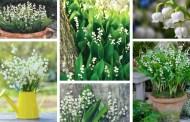 Κρίνος της κοιλάδας ή Κονβαλάρια, ένα λουλούδι με άσπρα άνθη σαν κουδουνάκια στην γλάστρα και τον κήπο σας