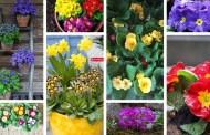 Πριμούλα - Ένα απαλό, πολύχρωμο και όμορφο λουλούδι για την γλάστρα και τον κήπο σας