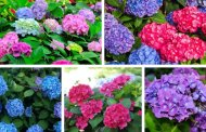Ένας εύκολος τρόπος για να αλλάξετε το χρώμα της ορτανσίας σας σε ροζ, μπλε και μοβ