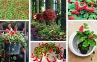 Ακαλύφα - Ένα εκπληκτικό σγουρό φυτό που μοιάζει με κόκκινη ουρά γάτας για την γλάστρα και τον κήπο σας