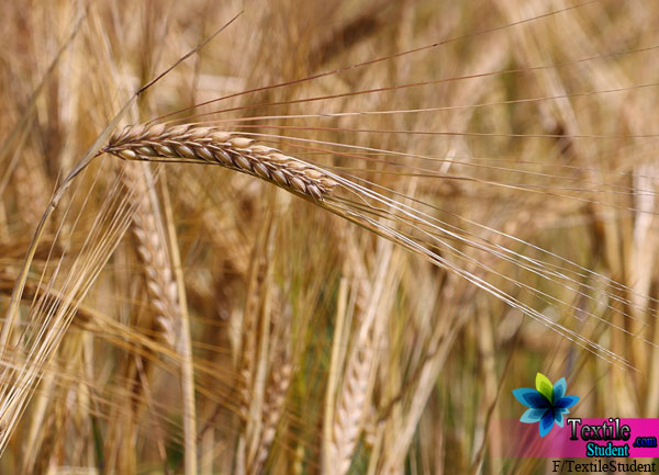 Vegetable Enzyme Barley