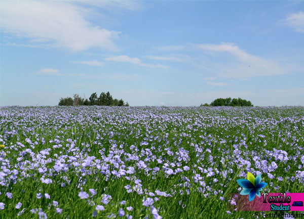 flax fiber cultivation field