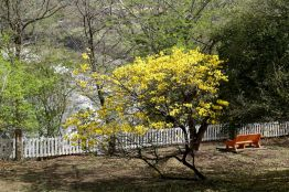 A yellow poui tree blossoms on the knoll at Fort Granby.