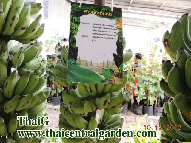 รายชื่อพันธุ์กล้วยไทย กล้วย สาวกระทืบหอ