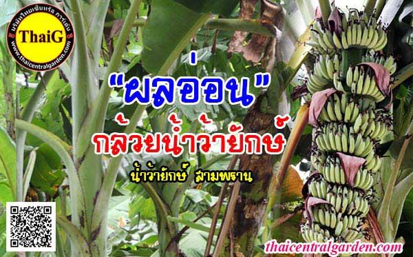 เครือกล้วยอ่อน กล้วยน้ำว้ายักษ์ ที่สวนThaiG สามพราน