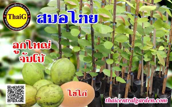 ต้นสมอไทย ลูกใหญ่จัมโบ้ที่สวนThaiG