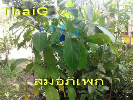 สมอพิเภก สรรพคุณเด็ดไม่แพ้สมอไทย
