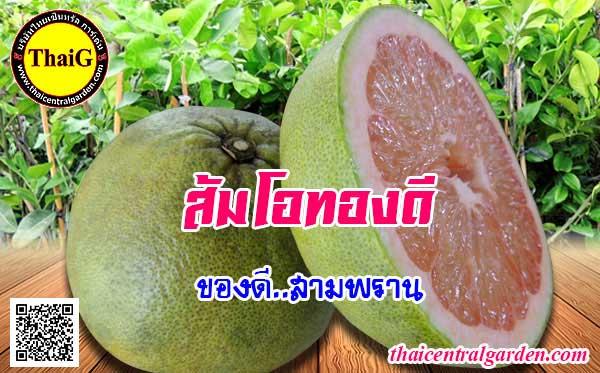 ผล ต้นส้มโอทองดี เนื้อหวานลูกกลมแป้น
