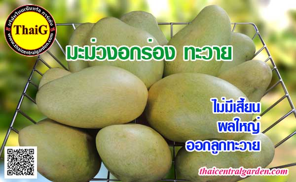 ผลมะม่วงอกร่องทะวาย ผลใหญ่รสชาติหวานมันและหอม
