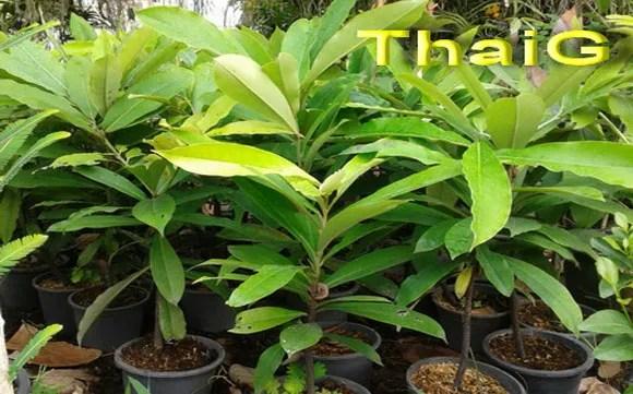 ขายต้นมะริด ต้นกล้ามะริดราคาถูก