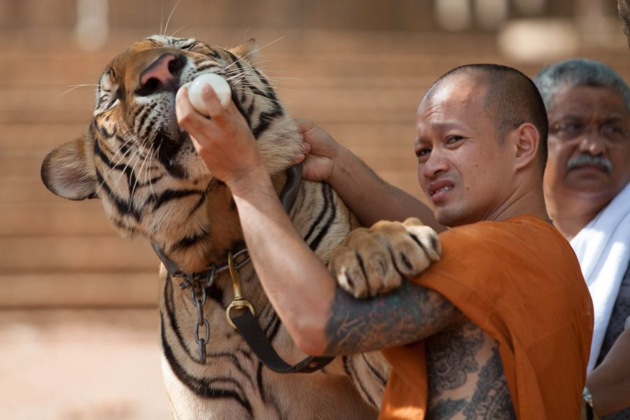 Zoo license to Tiger Temple