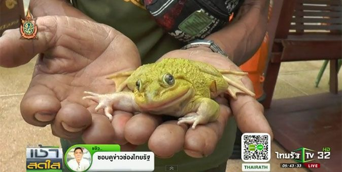 Golden frog who villagers hope can predict lottery No's