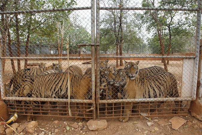 The final tigers have been removed from the Tiger Temple