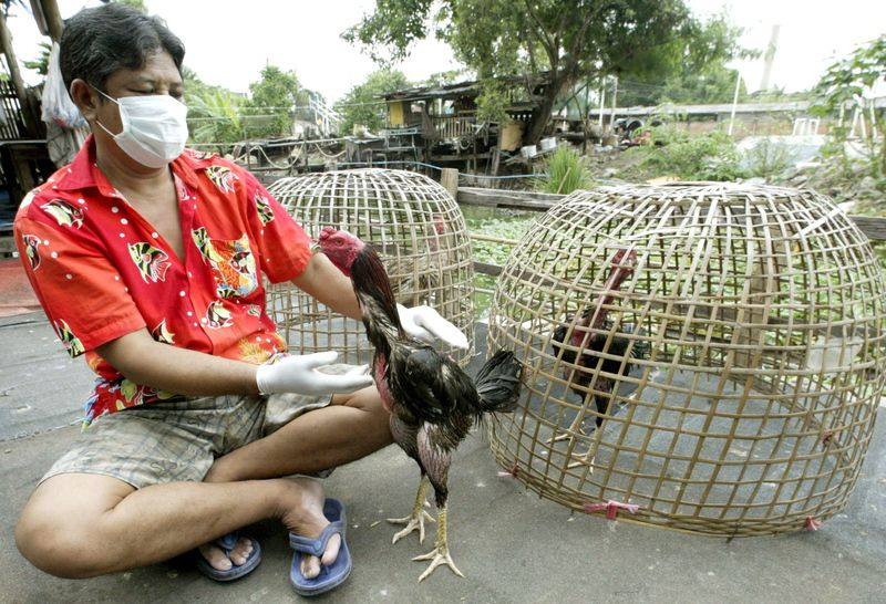 Cock fighting thailand
