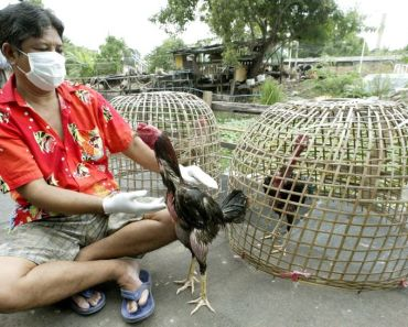 Cockfighting Thailand