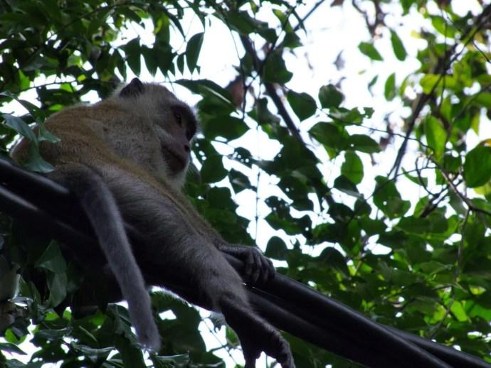 singe perche penang national park malaisie