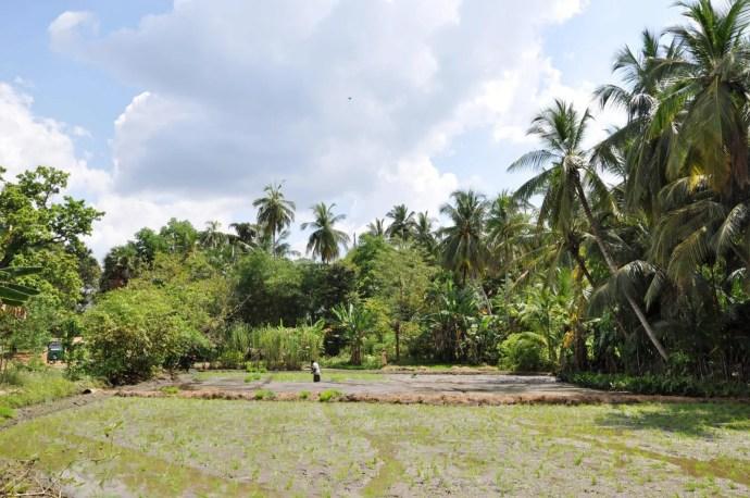 rizieres - anuradhapura - sri lanka