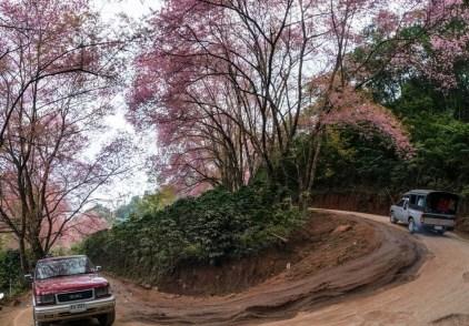 arbres à sakura sur la route près du sommet de doi pui à côté de chiang mai