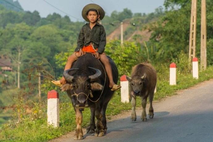 moto nord Vietnam - enfant et ses buffles - Cao Bang