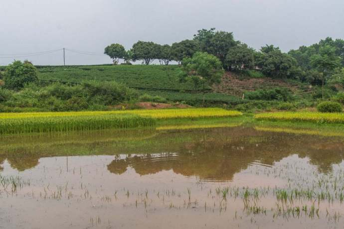 plantations thé Thai Nguyen