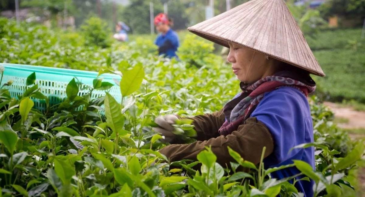 ceuilleuses plantations thé Thai Nguyen