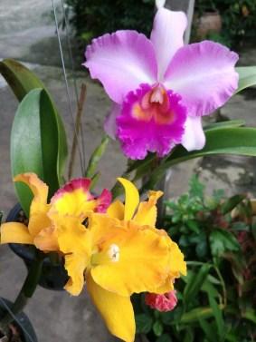 orchidées dans une ferme de Bangkok
