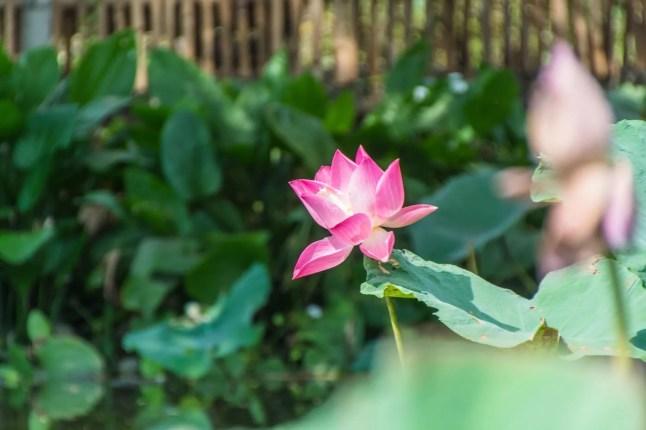 fleur de lotus marché flottant lat mayom