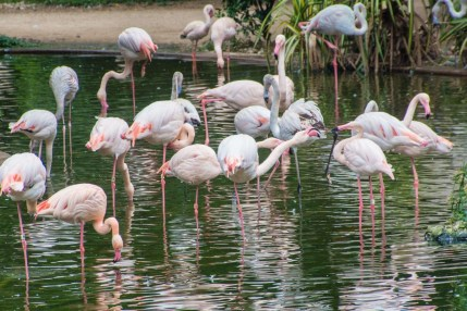 kowloon park flamants roses - hong kong