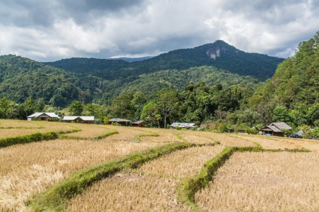 riziere recolte ban mae klang doi inthanon - chiang mai