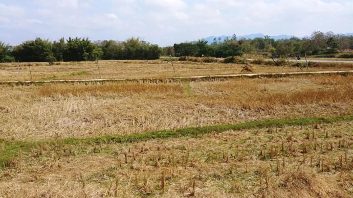 riziere thailande en janvier